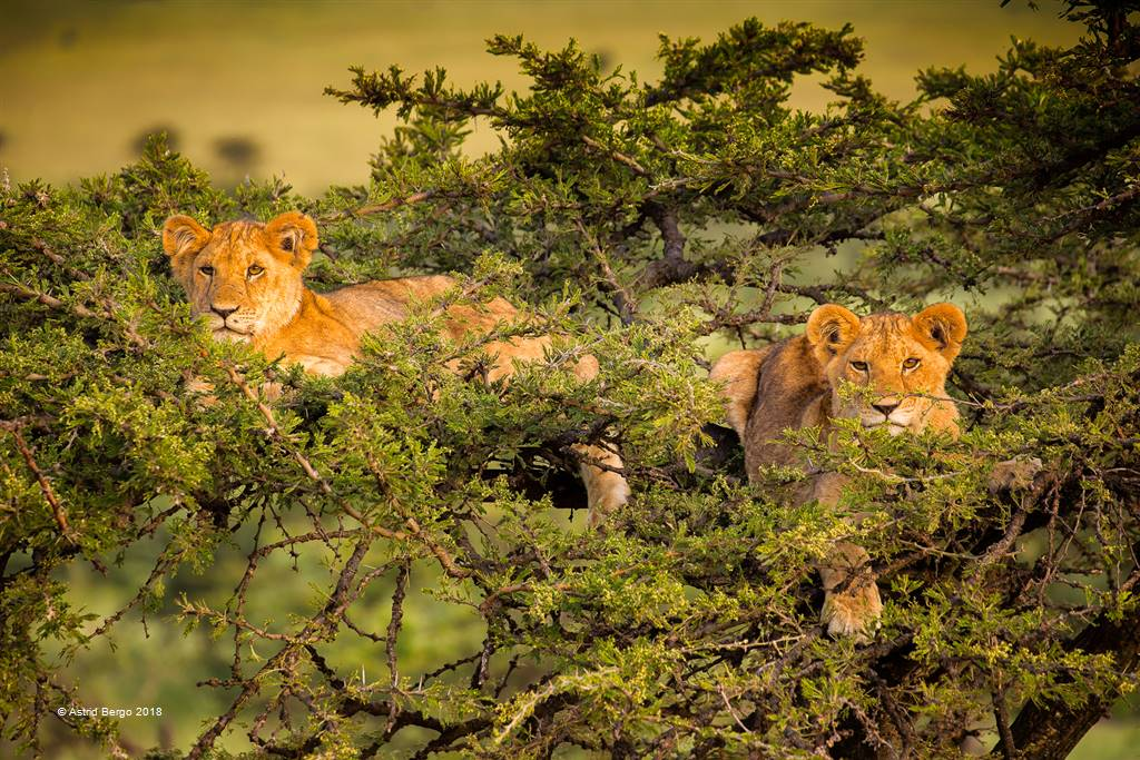 Astrid Bergo – Lion Cubs in Tree1 – Open Colour